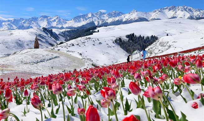 Tulips blooming in snow at Jiangbulake scenery spot in NW China's Xinjiang