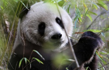 Wild giant pandas seen in northwest China