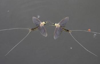 Long-tailed mayflies seen in Tiszakurt, Hungary
