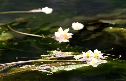 Blooming ottelia acuminata floats on river in S China's Guangxi