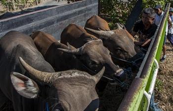 People live near Mount Gunung Agung evacuate their livestock in Bali