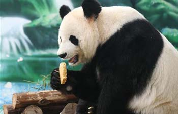 Giant pandas eat specially-made mooncakes to mark Mid-Autumn Festival
