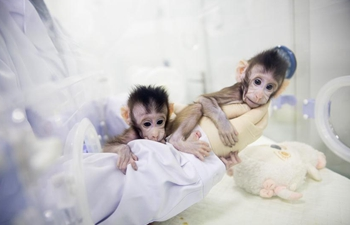 China Focus: Macaque cloning breakthrough offers hope against human illnesses
