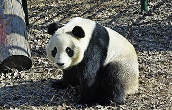 Giant panda enclosure open to public at Tianjin Zoo