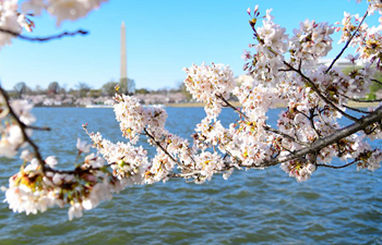 Cherry blossoms seen along Tidal Basin in Washington D.C.