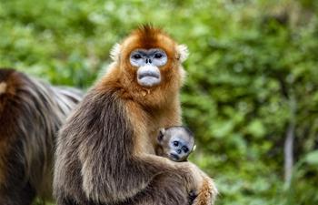 Golden monkeys seen in Shennongjia National Park, C China's Hubei