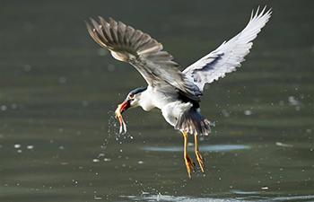 Night heron catches fish at Xihu Park in Fuzhou, China's Fujian