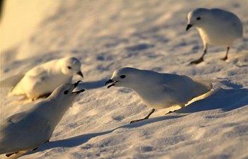 In pics: snow petrels seen near Zhongshan station in Antarctica
