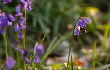 Wild bluebells bloom in Belgium
