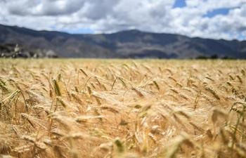 Scenery of highland barley field in Bainang County, China's Tibet