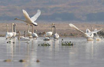 Swans seen over Fuhe River in Nanchang, E China' Jiangxi