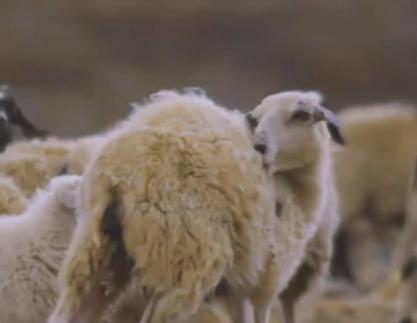 """是他,讓村民""""羊""""起了笑臉"""