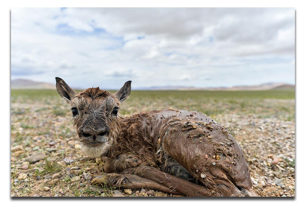 """在""""生命禁区""""迎接新生:新华社记者首次直击藏羚羊产仔"""