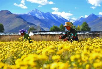 西藏:高原菊花開