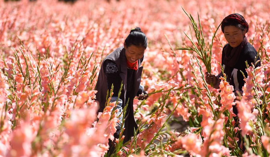 西藏:特色種植助農增收