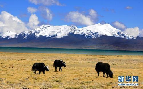 西藏天然草原綜合植被覆蓋率預計達45.2%