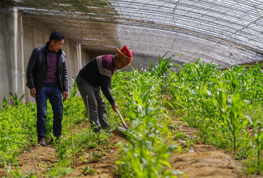 """西藏阿裏:農業園區讓群眾吃上""""生態飯"""""""