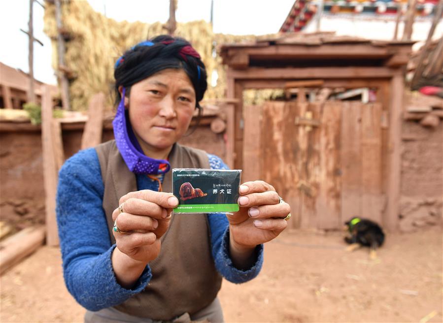 """西藏昌都:防治包蟲病 免費為家犬辦""""身份證"""""""