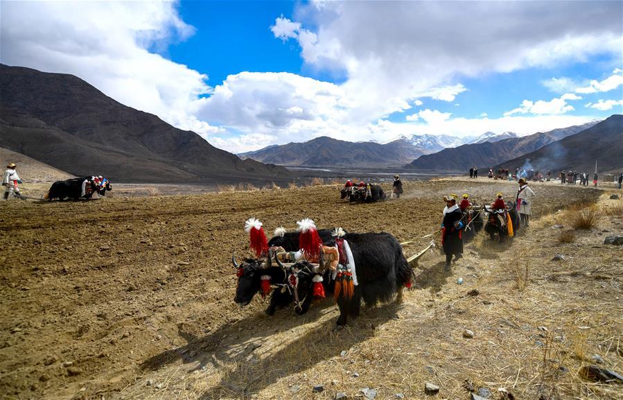 西藏:春耕大典開啟新春第一犁