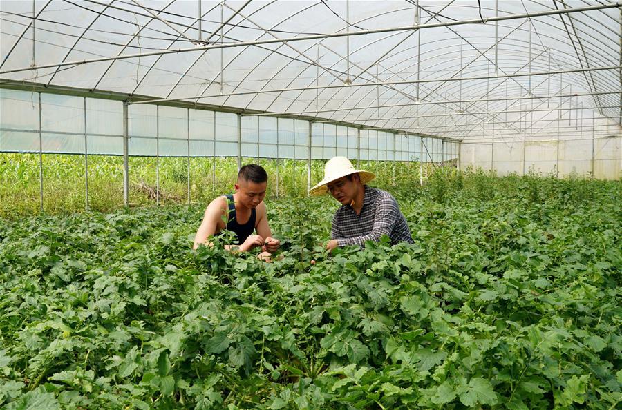 西藏墨脫:規模化種植助力發展