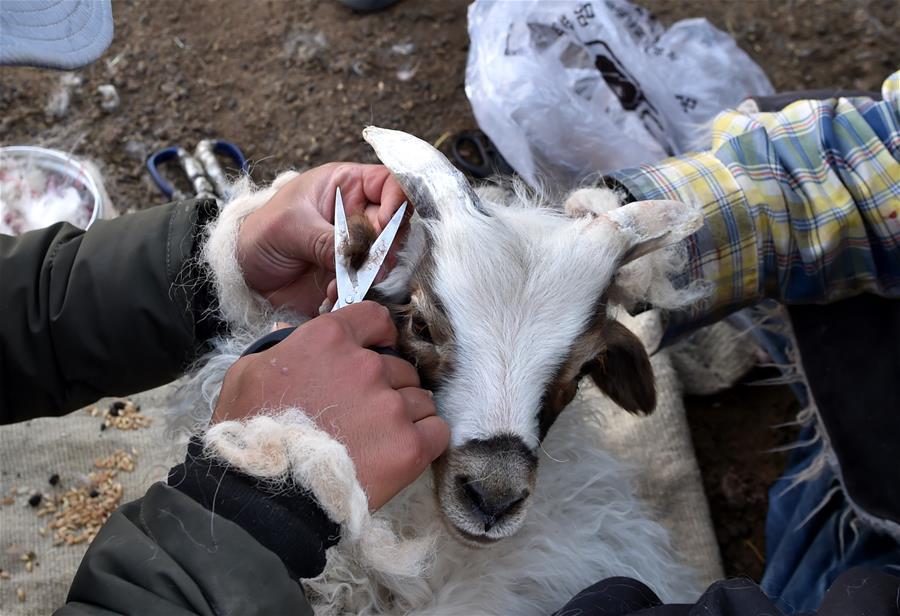 西藏牧區千年習俗——羊凈身