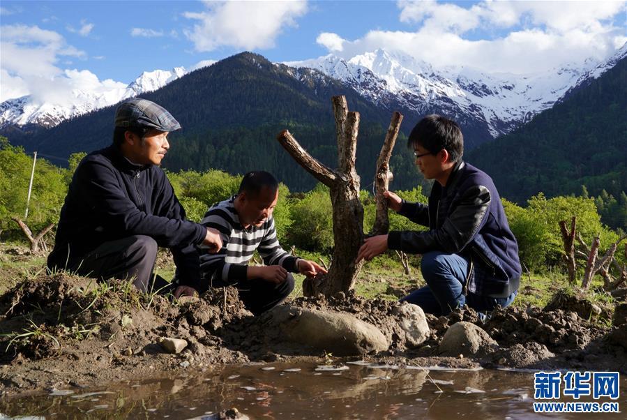西藏波密:青梅産業助力脫貧