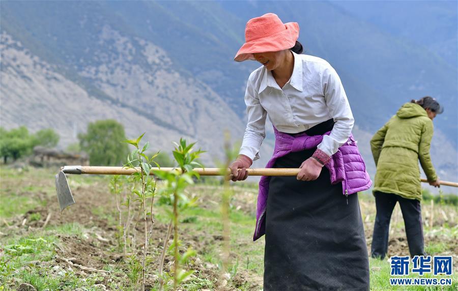 西藏林芝:林巴村的致富路