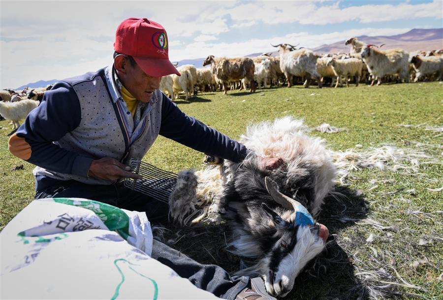 西藏日喀則牧民剪羊毛(圖)