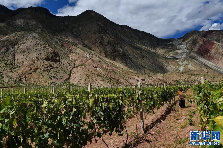 西藏八宿縣葡萄喜獲豐收(圖)
