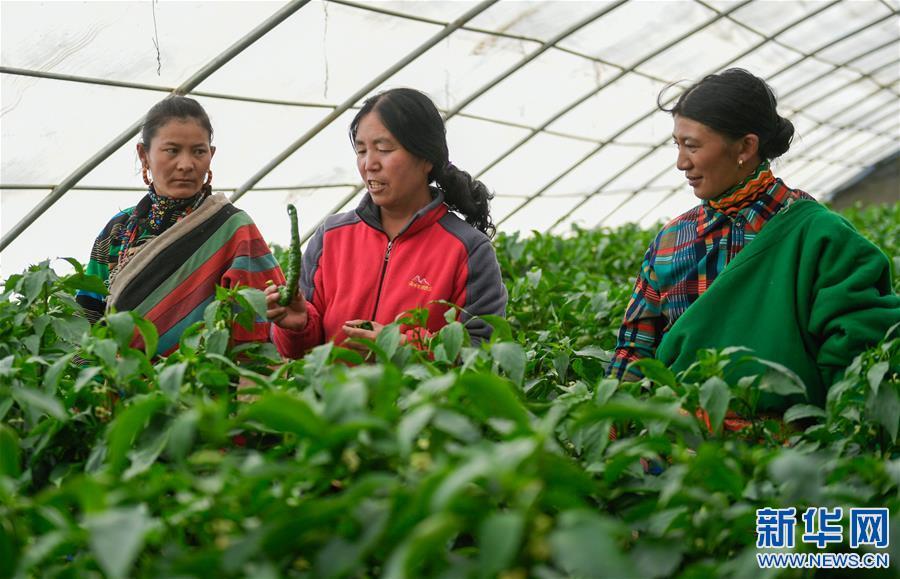 西藏阿裏探索高海拔蔬菜種植初見成效