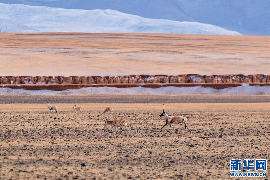 藏羚羊的家园(图)