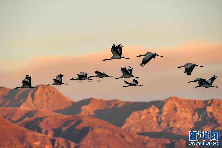黑颈鹤的冬日家园(图)