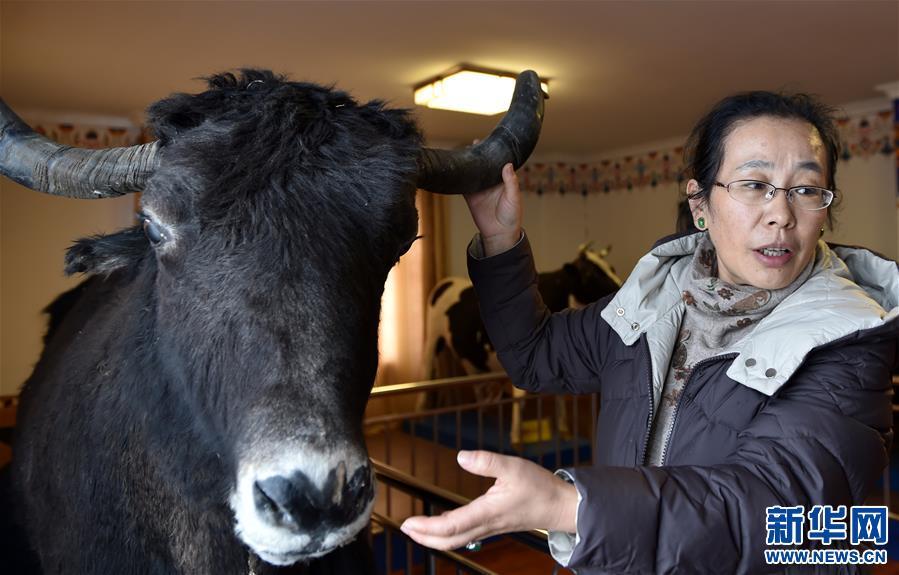 """姬秋梅:破譯青藏高原牦牛""""生命密碼""""的藏族女博士(圖)"""
