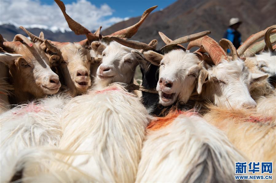 西藏牧區迎來擠奶季(圖)