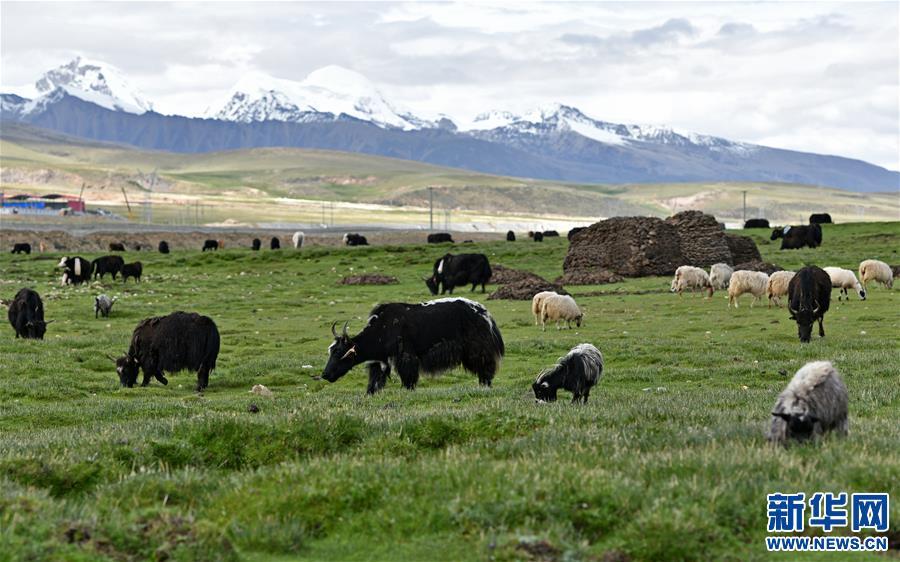水草豐美的藏北牧場(圖)