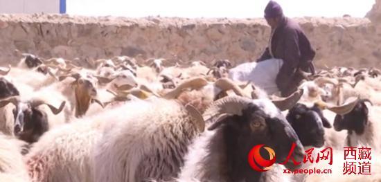 西藏安多縣:牧民接羔育幼忙