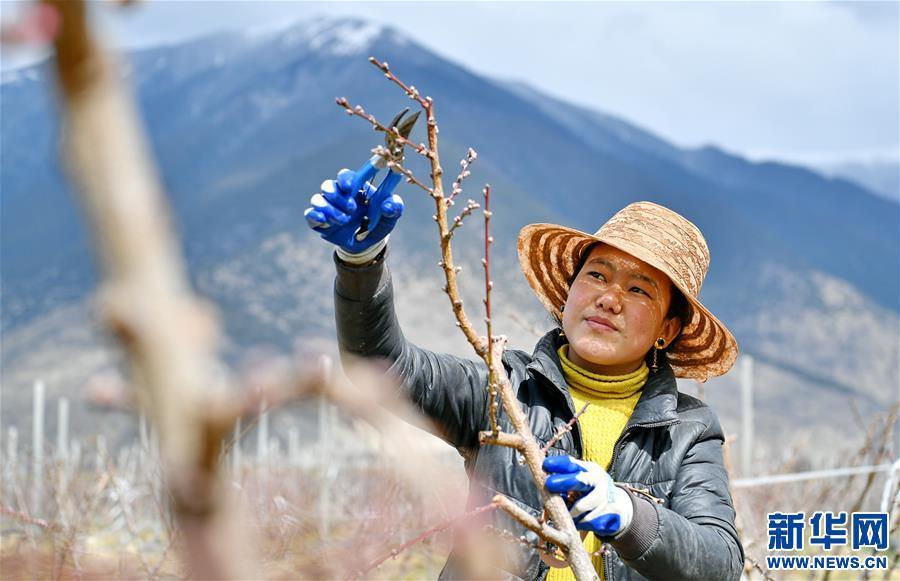 西藏林芝:示范果園春來早(圖)