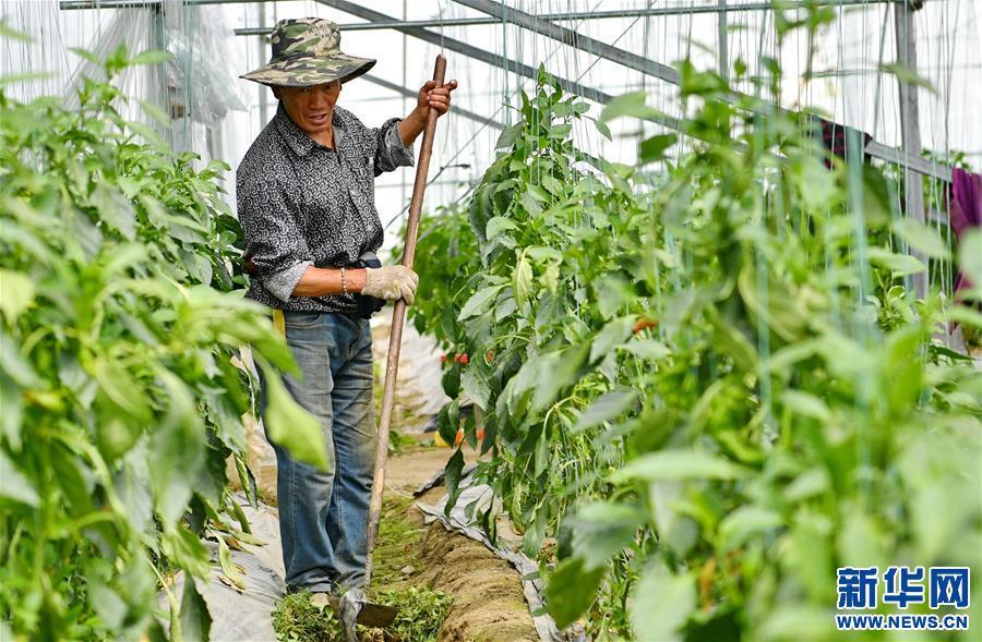 """西藏林芝:蔬菜種植 鼓起百姓""""錢袋子""""(圖)"""