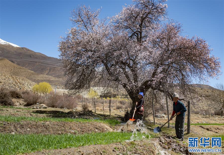 西藏多措並舉助力春季農牧業生産(圖)