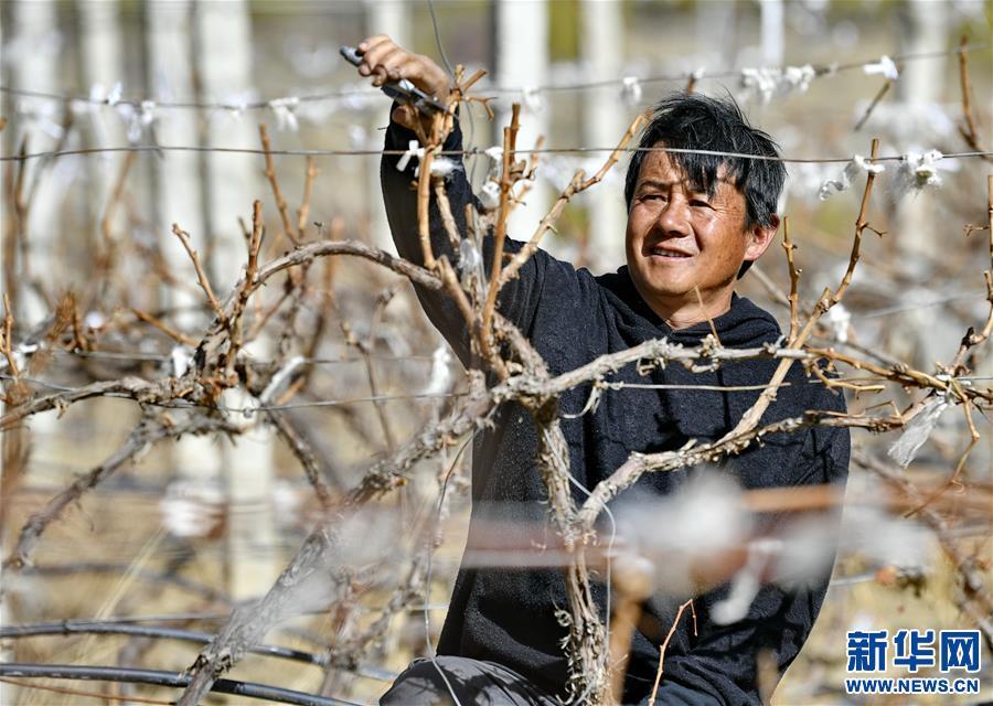 西藏山南:小葡萄拓寬農牧民致富路(圖)