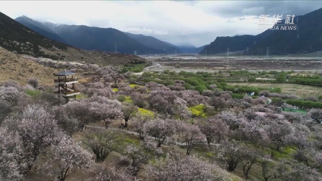 """【微視頻】春臨西藏 """"雲""""賞桃花"""