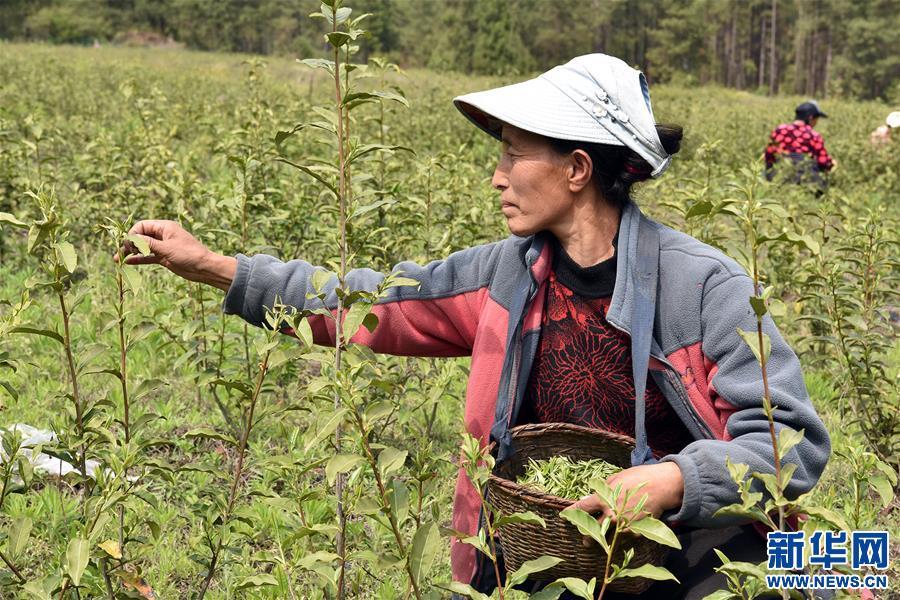 西藏察隅首批春茶開採(圖)