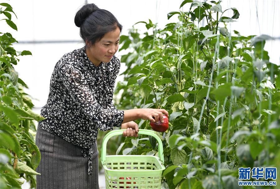 白朗縣把貧困戶聚在蔬菜産業鏈上