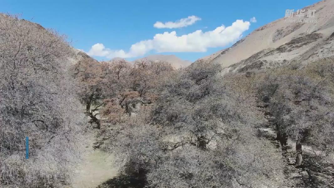 【微視頻】珠峰自然保護區生物多樣性得到有效保護