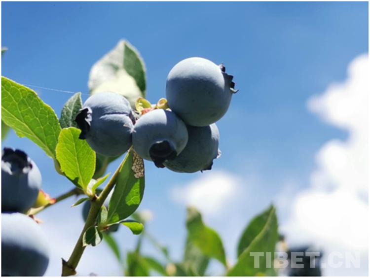 小藍莓托起大産業