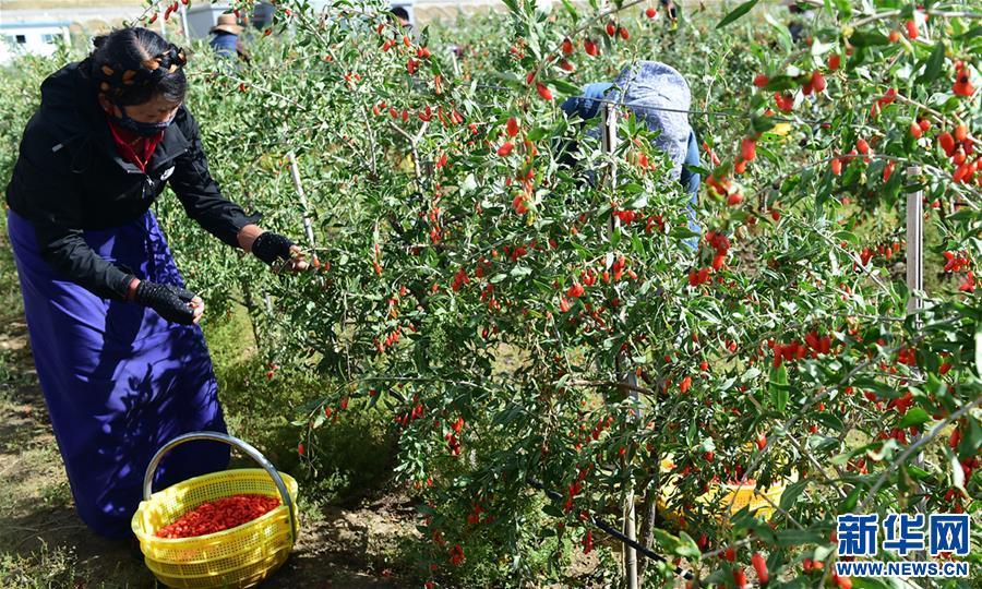 西藏白朗:發展枸杞産業促進村民增收(圖)