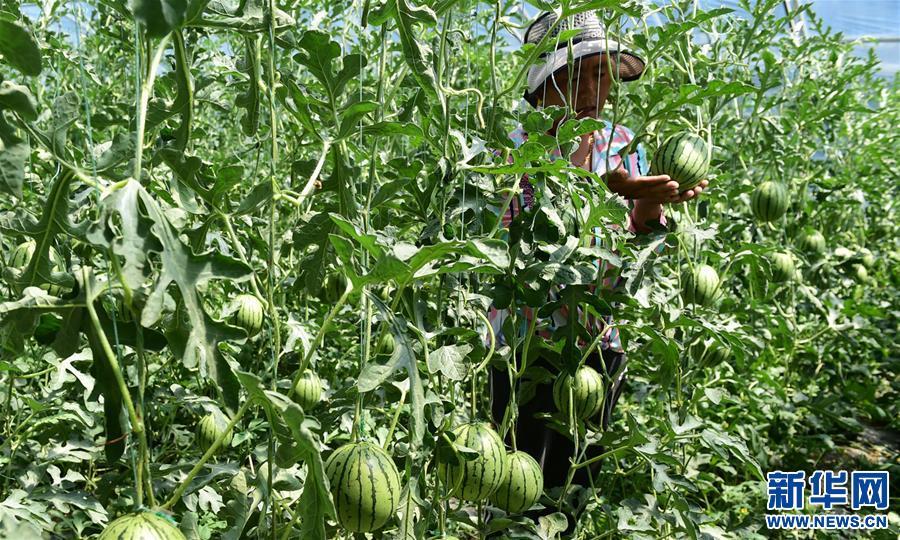 西藏白朗:蔬菜種植合作社助力農民增收(圖)